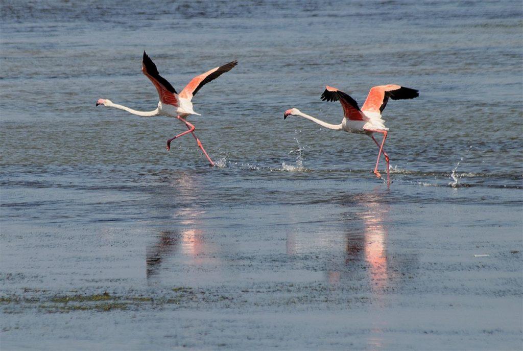 Weird Italy Porto-Pino-flamingos-1024x687 The Fairy Porto Pino Dune Beach in Sant'Anna Arresi Featured Magazine Nature in Italy What to see in Italy  seaport sea sardinia sand dunes Porto Pino phoenician iglesias dune carbonia beach