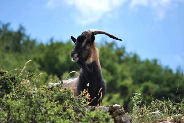 montecristo-goat