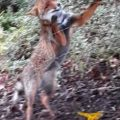 Weird Italy fox-found-prowling-florence-church-loggia-120x120 Fox found prowling Florence church loggia What happened in Italy today