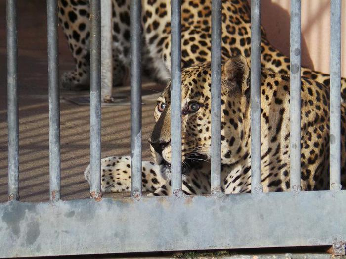 Weird Italy panther-sighted-near-bari 'Panther' sighted near Bari What happened in Italy today